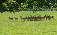 Fallow Deer Epping Forest Walking Routes