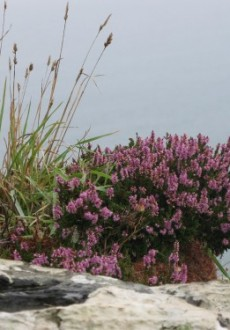 St Ives Cornwall South West Coastal Path Heather
