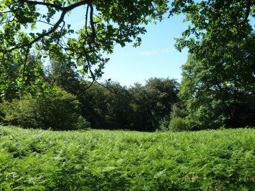 The ferns in Epping Forest Essex on the Green Ride by Great Monk Wood