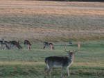Quendon Hall Essex Deer Park Stag