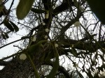 Wild Mistletoe Hatfield Forest Walks Walking Routes December 2011 Christmas Eve