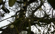 Wild Mistletoe Hatfield Forest Walks Walking Routes December 2011 Christmas Eve