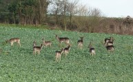 Walks And Walking - Essex Walks Epping Forest Abridge Walking Route - Fallow Deer