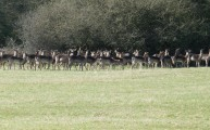 Walks And Walking - Epping Forest Queen Boudicca Obelisk Walking Route - Fallow Deers