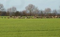 Walks And Walking - Essex Walks - Billericay to Chelmsford Walking Route - Deer at High Woods 2