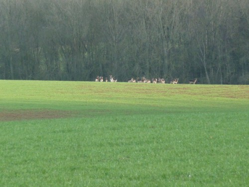 Walks And Walking - Essex Walks - Billericay to Chelmsford Walking Route - Deer at High Woods 4