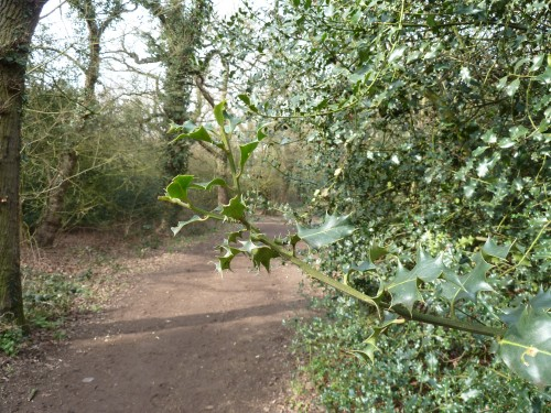 Walks And Walking - Essex Walks Epping Forest Holly Trail Walking Route - Holly and Trail