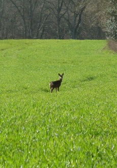 Walks And Walking - West Sussex Walks Slindon Estate National Trust Walking Route - Deer At North Wood