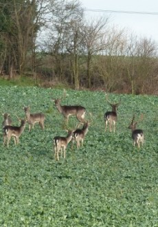 Walks And Walking - Essex Walks - Epping Forest Fallow Deers Hainault Videos