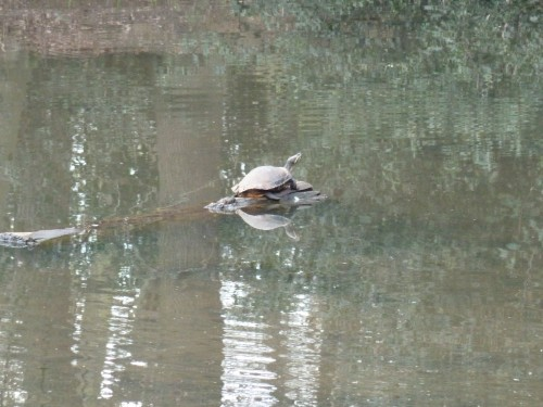 Walks And Walking - Essex Walks Epping Forest Jacks Hill Walking Route - Turtle At Goldings Hill Ponds
