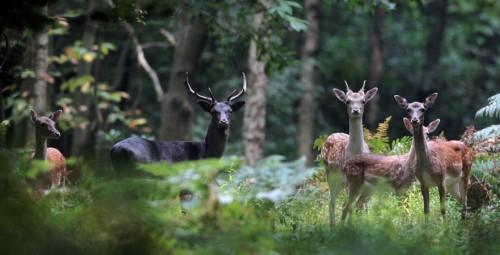 Epping Forest Fallow Deer