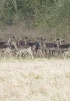 Essex Walks – Epping Forest Fallow Deer Upshire Video - Fallow Deers