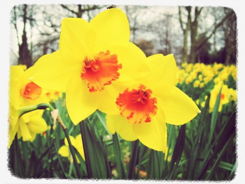 Walks And Walking - Spring Walks Best For Daffodils
