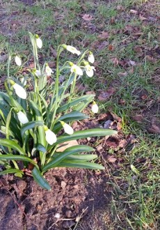 Walks And Walking - Where to see Snowdrops and Daffodils this Spring - Snowdrops at Sheringham Park