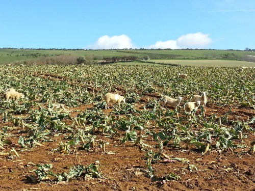 Walks And Walking - Isle of Wight Walks Bembridge Trail Sheep Cauliflower Fields