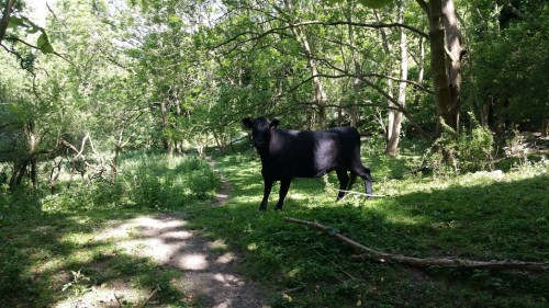 Walks And Walking - Folkestone 3 Peaks Challenge - Cow In The Woodland