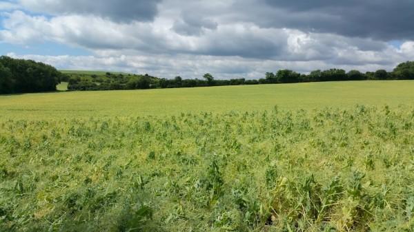 Walks And Walking - Paddlesworth Walk In Kent - Field Of Peas